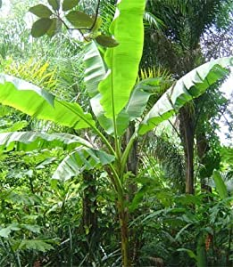 Banana Tree Plant Musa Basjoo Cold Hardy