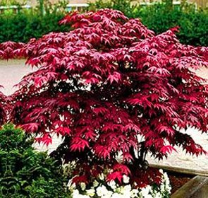 Japanese Red Maple Tree (1-2 feet tall in full gallon containers)