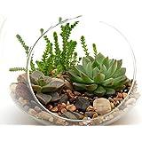 "Succulent Terrarium Kit 3 Succulents, 6"" Round Glass Globe, River Rocks and Soil"