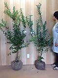 【ノーブランド品】 ブルーベリー・お得な2株セット 樹高1.2m前後 根巻き 2本セット