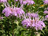 Premier Seeds Direct HRB59 0.4g Bergamot Monarda Fistulosa Seeds (Pack of 1000)