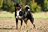 "Appenzeller Mountain Dog Standing Dog - 24""W x 16""H - Peel and Stick Wall Decal by Wallmonkeys"