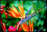 Bird Of Paradise (Very Rare) - Strelitzia reginae - 10 Seeds