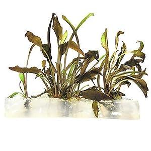 Cryptocoryne parva live aquarium plant crypt crypto - Logitech living room keyboard k410 ...