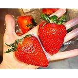 Organic Heirloom 300 Giant Strawberry Seeds Rare Fragaria Ananassa Huge Fruit Bulk A1300