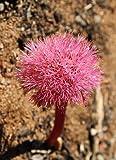 南アフリカ原産の珍花! ハエマンサス・アマリロイデス ポリアンサス 開花見込球 1球