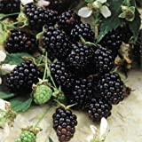 "Blackberry ""Sweetie-Pie"" Plants   (4 Plants)"