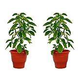 VANDHARA Lakshmi Tulsi (Set Of 2) Natural Plant