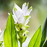 Ginger Curcuma Longa (Turmeric Plant) Flowering Ginger White Wonder 3 Large Roots