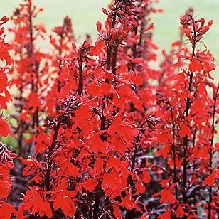 1 X Lobelia Cardinalis Queen Victoria - Crazy Daisy In A 9cm Pot - Herb - Hardy Perennial Plant - Flowering Plants Shrubs