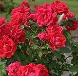 "Climbing Rose Plant, Blaze, Red, Nice 12-18"" Tall Rose Plant, Bush"