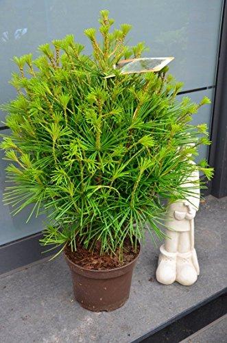 Japanische Schirmtanne Sciadopytis verticillata 40 - 50 cm hoch im 5 Liter Pflanzcontainer