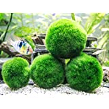 "Aquatic Arts 4 Giant 2 to 2.5"" Very High Quality Real Marimo Moss Balls, X-Large"