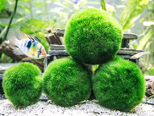 4-giant-marimo-moss-balls-and-1-nano-marimo-by-aquatic-arts