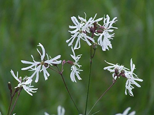Hardy Perennial / Marginal Pond Plant - Lychnis flos-cuculi - White Robin x 50 - 2014 Fresh Seeds