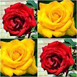 (Combo Of 2 Colors) Floral Treasure Red & Yellow Rose Seeds - Pack Of 20
