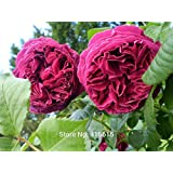 100 Falstaff Rose Red Rose Seeds David Austin Modern Rose Flower Bonsai Garden Plants Seeds