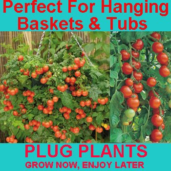 Pack Of 3 Tumbler Tomato Plug Plants - Make Your Own Tomato Hanging Basket - Small Cherry Tomatos - Available Now