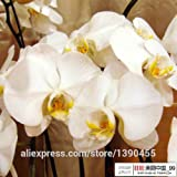 2015 New.Hot Sale!Bonsai Balcony Flower Butterfly Orchid Seeds Phalaenopsis Orchids -100 Pcs Seeds Beautiful Garden