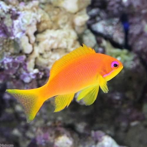 (海水魚)東アフリカ産 キンギョハナダイ メス(1匹) 本州・四国限定[生体]