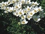 Swanley Village Nursery 3 X Anemone Sylvestris ('Snowdrop Windflower' Plug Plants Herbaceous