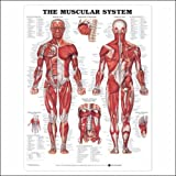 Muscular System Anatomical Chart Laminated