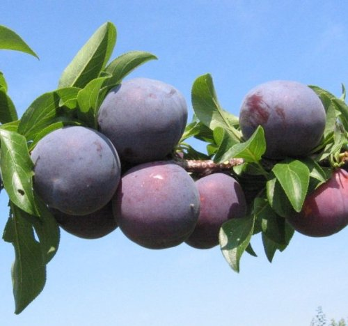 Spring Satin Plumcot Tree -- 12 by 12 Inch Container