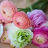 Ranunculus Tecolote Flower Bulbs - Pastel Lace Collection - 30 X-Large Bulbs - 8+ cm | Ships From Easy to Grow TM