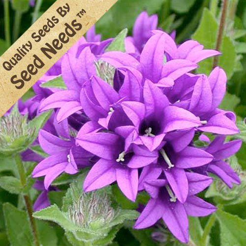 25 Seeds, Bellflower Superba (Campanula Glomerata) Seeds by Seed Needs