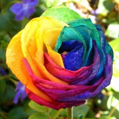 Excited Promotion 20Pcs Rose Seeds 5 Colors Petals Plants Home Garden Flower