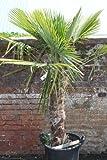 Garden Plants-Trachycarpus Fortunei - LARGE 1.8M HARDY CHUSAN PALM