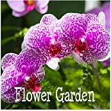 Bonsai Balcony Flower Butterfly Orchid Seeds Phalaenopsis Orchids -10 Pcs Seeds Beautiful Garden,#MU8XYX 2