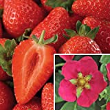 Toscana Everbearing Strawberry - 4 Plants - Super Sweet
