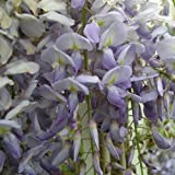 WISTERIA SINENSIS-Ideal Gift Mothers Day Plant & Flower Gifts To Send For All Occasions