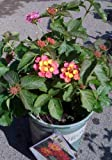 Confetti Lantana Plant One Gallon