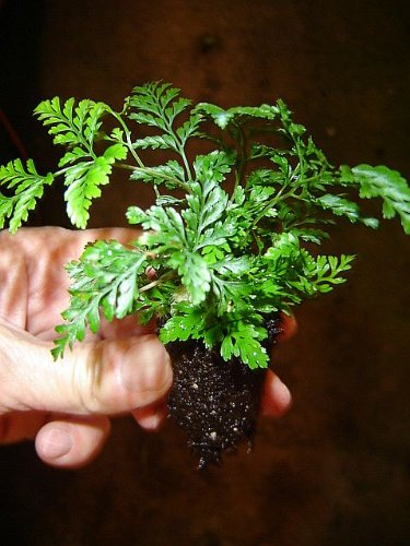 5 baby white rabbit's foot fern plants