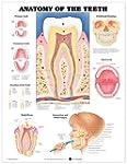 Anatomy of the Teeth: Anatomical Chart