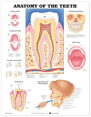Anatomy of the Teeth Anatomical Chart - 1