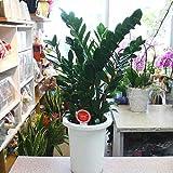 ザミア・ザミオクルカス 7号プラスチック鉢植え インテリア・開店開業お祝い【観葉植物】