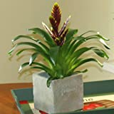 Vriesea Dark Red - 1 plant