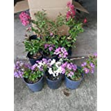 Crape Myrtle Trees - Your Choice - Box of 4 Trees