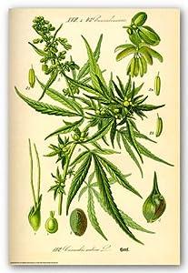 Cannabis Sativa Botanical Illustration Art Poster Print