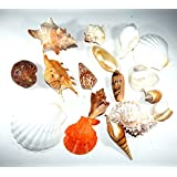 Urancia™ Sea Shell For Beach Party Decorative Crafts And Laxmi Pujan