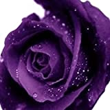 20pcs Blue Red Purple Pink Black Yellow Green Champagne White Rose Seeds Flower Seeds (Purple)