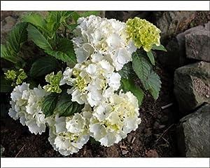 Hydrangea arborescence
