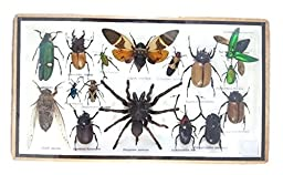 Insect Beetle Tarantula Mounts Animals Taxidermy 17 Real in Wood Framed