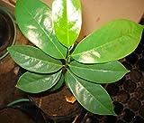 Soursop Guanabana Annona Muricata 1 Live Plant