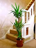 Large Traditional Evergreen House Plants - Triple Yucca