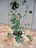 ユーカリ ポポラス、ポリアンサ(ハートリーフ) プラ鉢植え