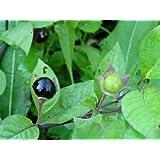 500 seeds Atropa belladonna, Deadly Nightshade Wildflower